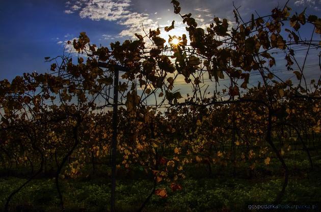 Winnica Mazurak w Terliczce