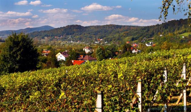 Winnica Golesz w Jaśle