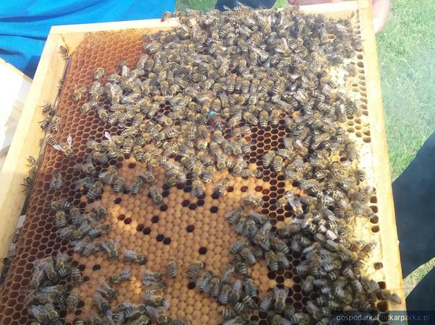 Na zdjęciu, oznaczona niebieskim markerem pszczela matka