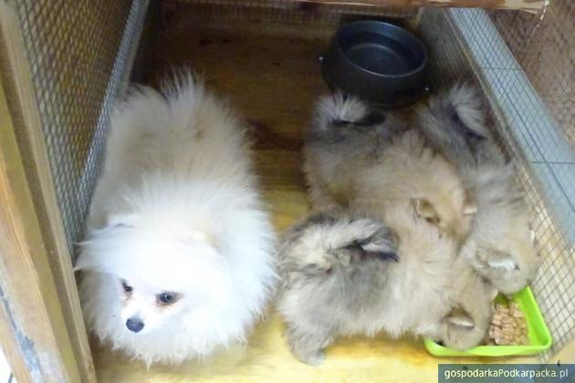 Rasowe psy ze sfałszowanymi dokumentami na granicy w Medyce